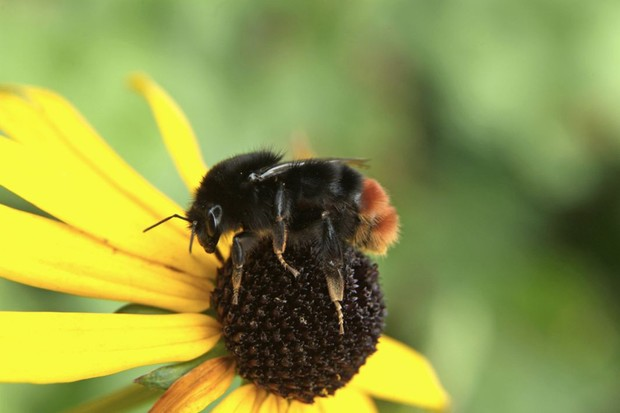 Red-tailed bumblebee feeding on a yellow echinacea flower