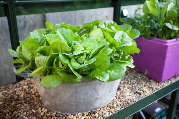 lettuce-winter-gem-4