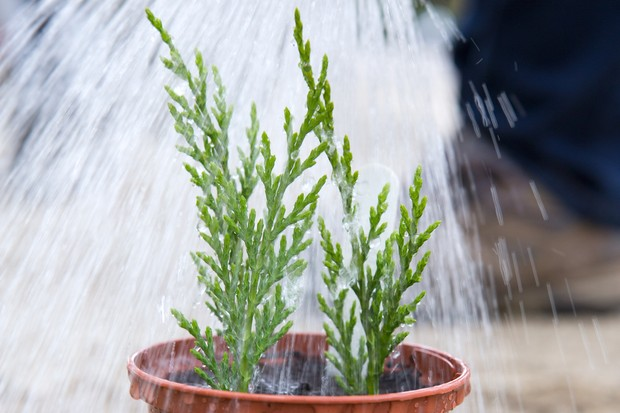 how-to-take-cuttings-from-conifers-watering-cuttings-2