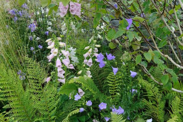Ferns, foxgloves and campanulas