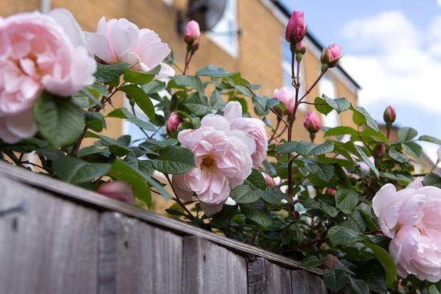 Pale-pink blooms of climbing rose 'The Generous Gardener'
