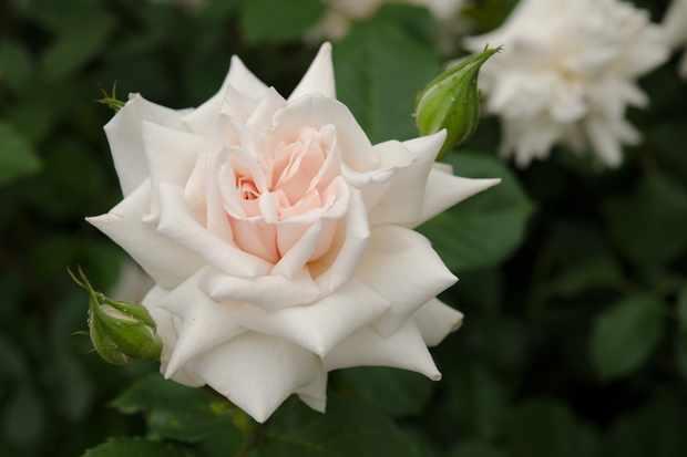 Palest-pink blooms of rose 'Beatrix Potter'