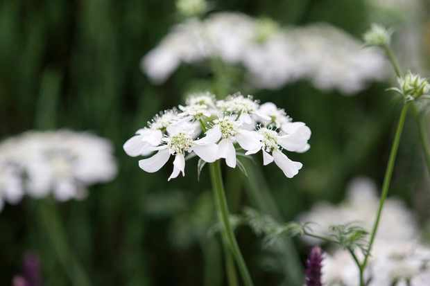 Delicate white laceflowers