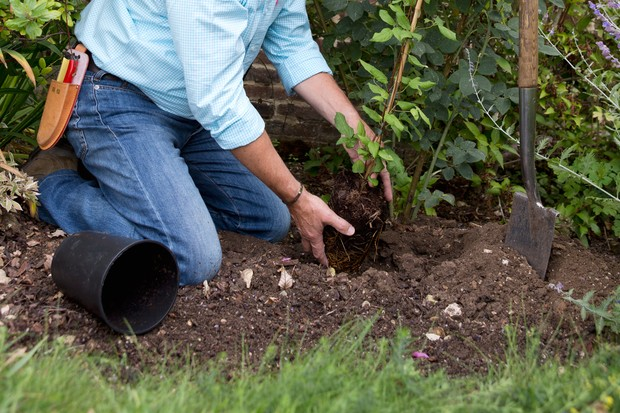 Planting a climber on the shady side of a shrub that it can grow up