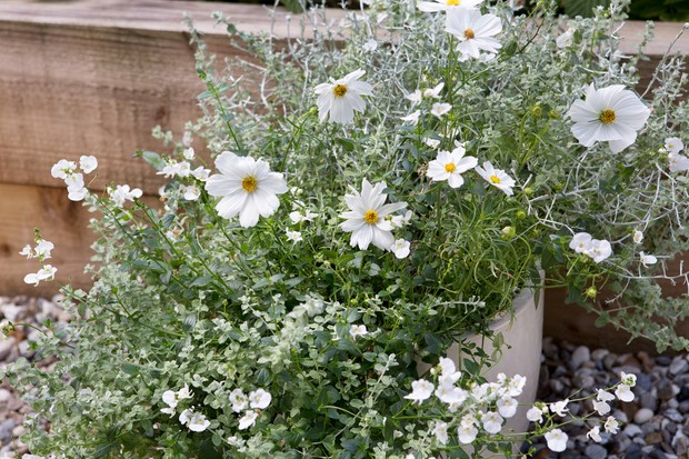 A container planted with white flowers and silver foliage