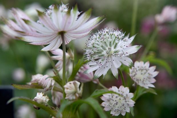 astrantia-major-subsp-involucrata-shaggy-2