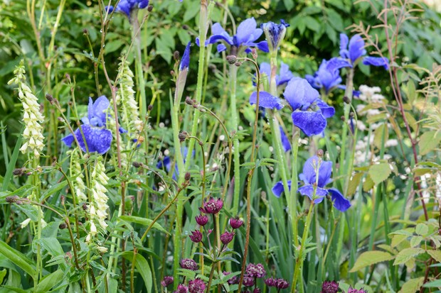 siberian-iris-iris-sibirica-silver-edge