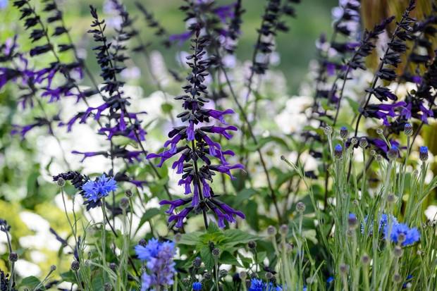Deep purple salvias with blue cornflowers