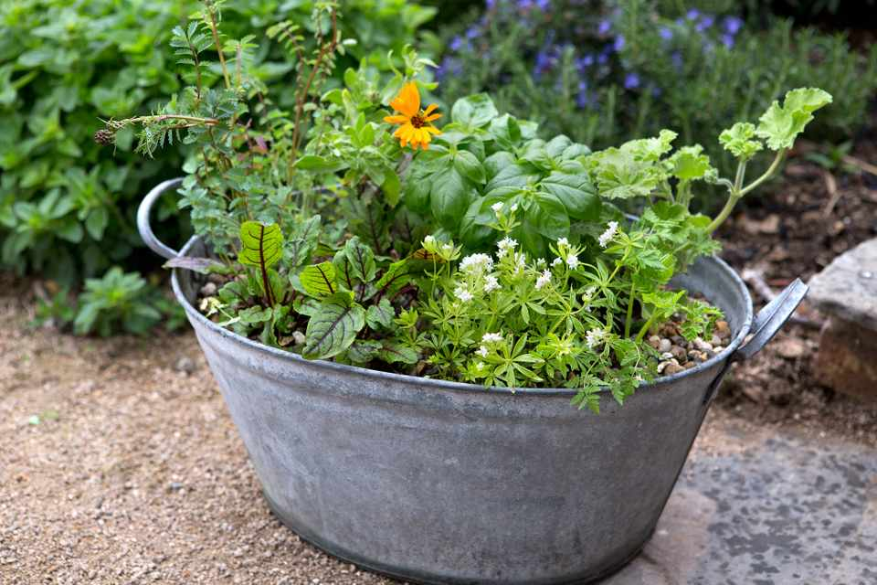 An old steel tub used as a mixed planter, with basil, geranium and sorrel