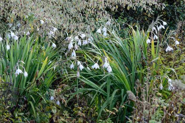 gladiolus-murielae-5