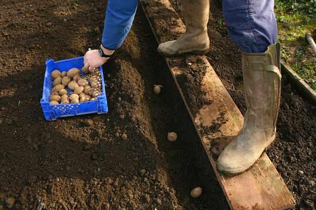 planting-seed-potatoes-3