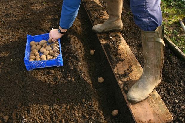 Planting seed potatoes 38cm apart in a row dug 15cm deep alongside a plank of wood