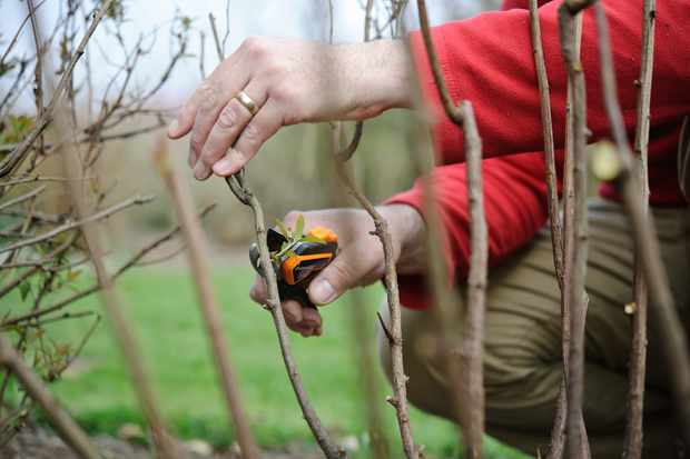 Pruning a shrub stem on a slant, just above an outwards facing bud