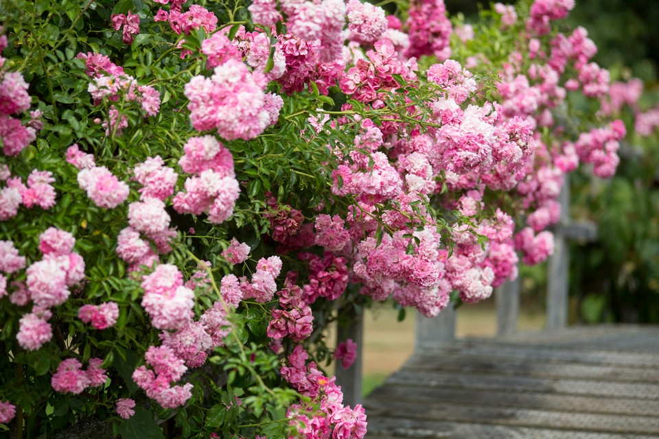 How To Grow Rambling Roses Step By Step Gardenersworld Com