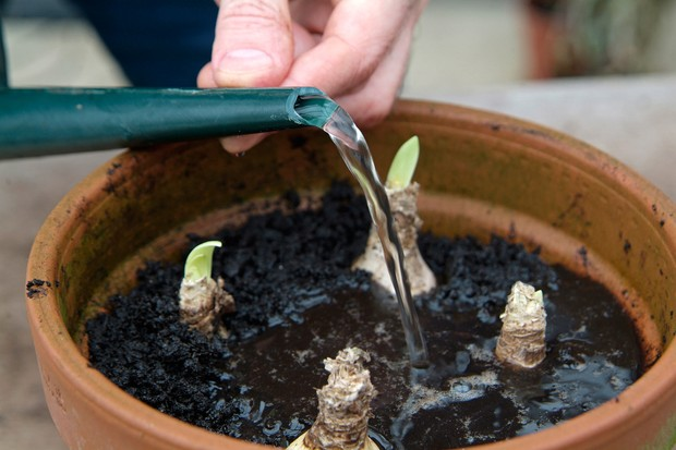 Watering nerine bulbs in a pot