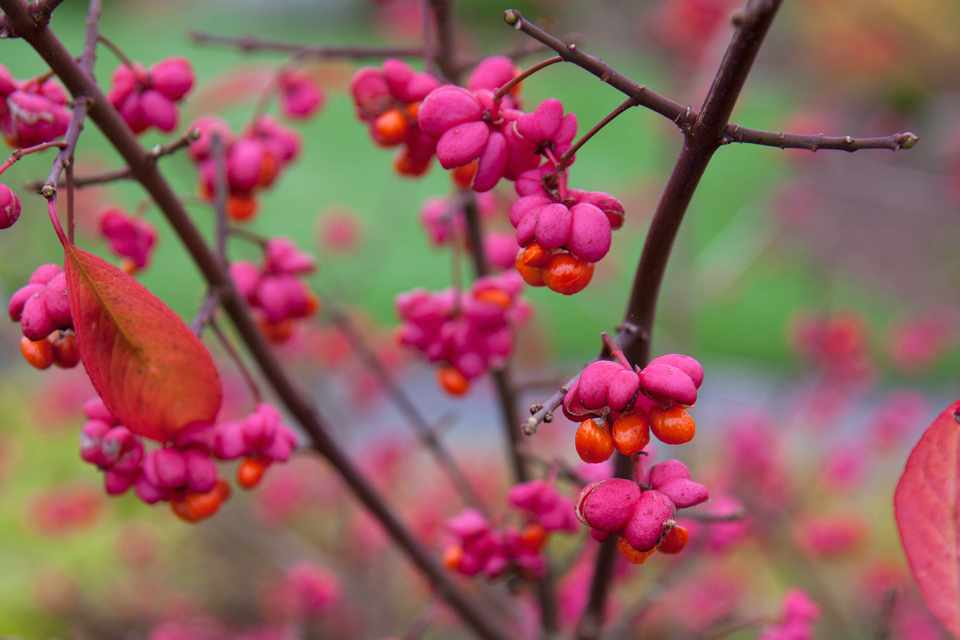 A spindle tree with bright-pink, split seed capsules showing bright-orange seeds inside
