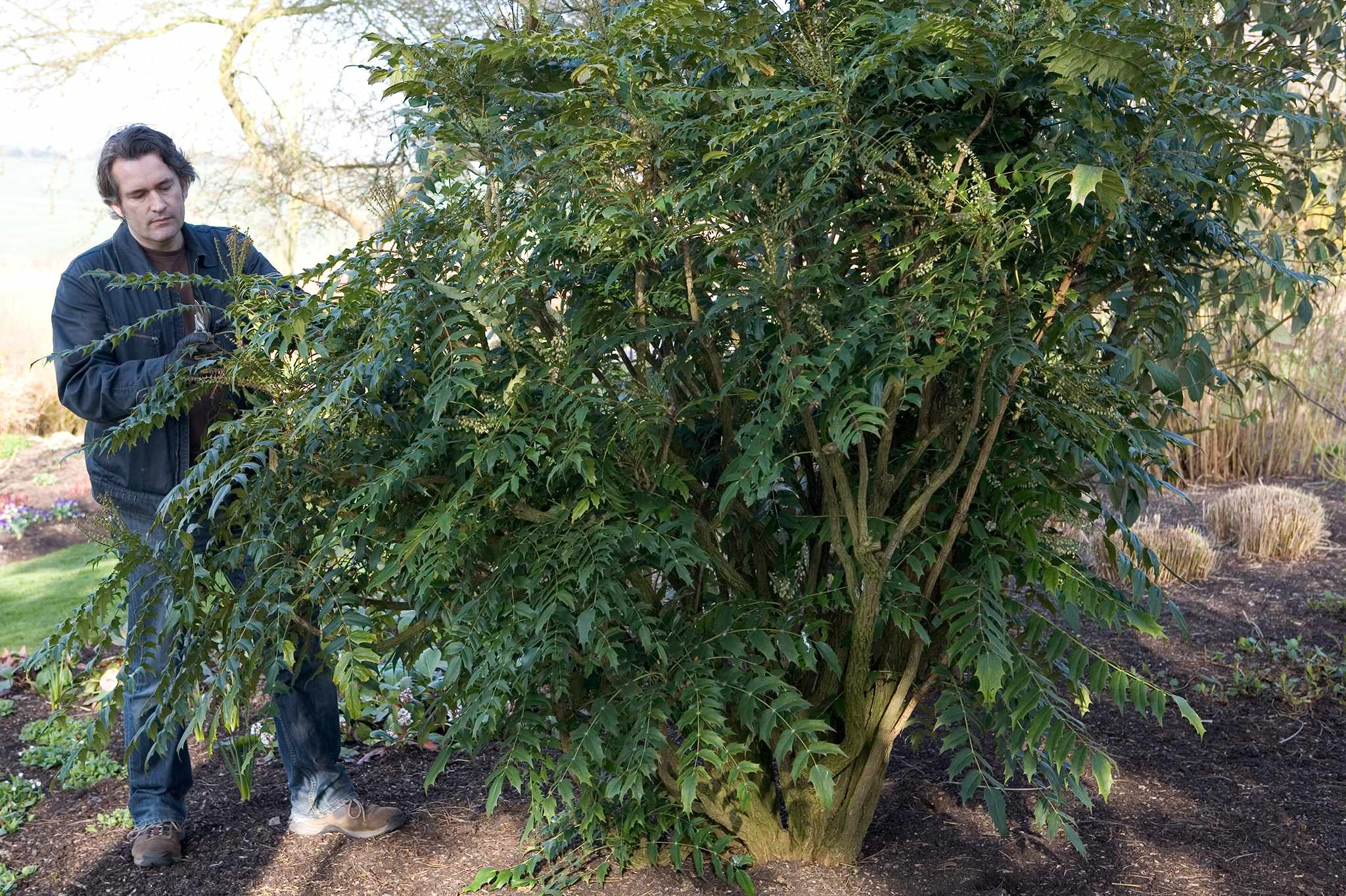 Rejuvenating an overgrown mahonia