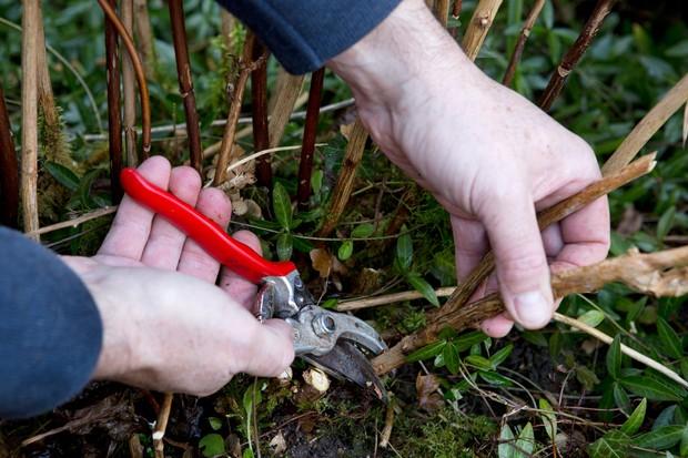 pruning-hydrangeas-3