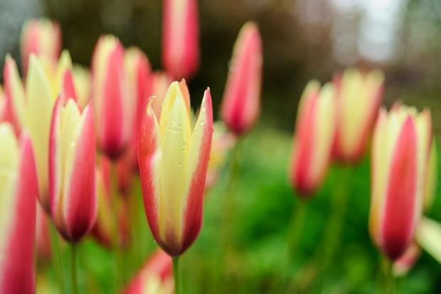 Elongate flowers of Tulipa clusiana 'Cynthia', striped red and pale-yellow