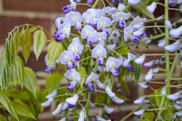 Climbers for wildlife - wisteria