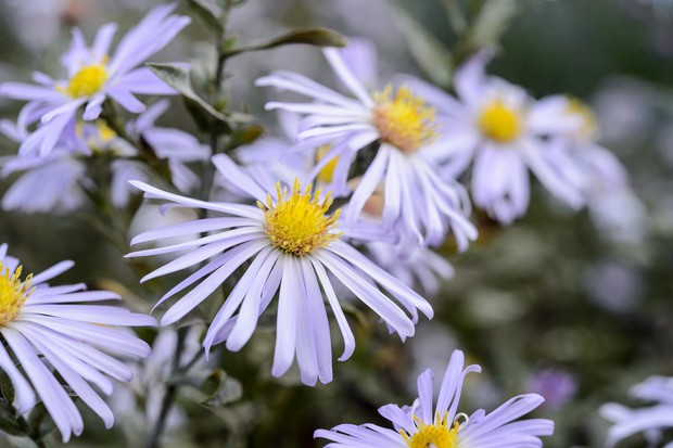 Michaelmas daisies with narrow white petals and yellow centres