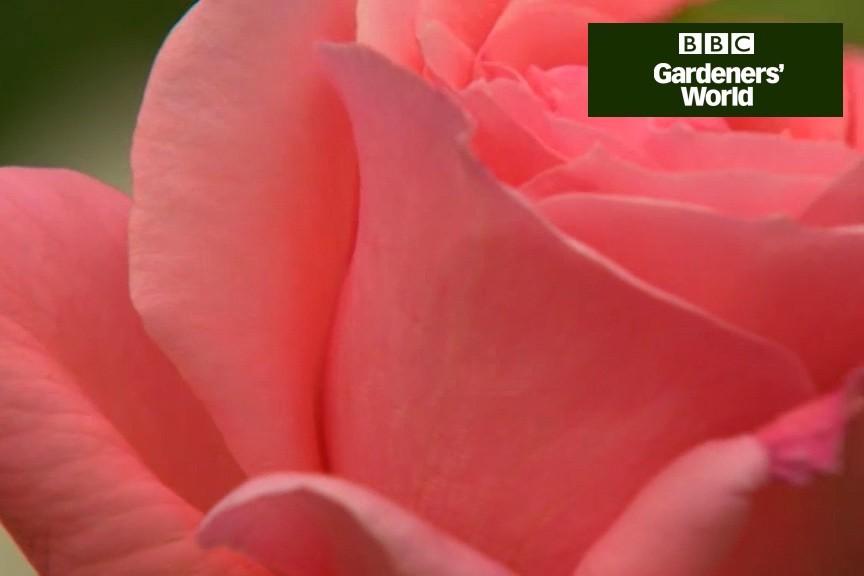 How to prune shrub roses video