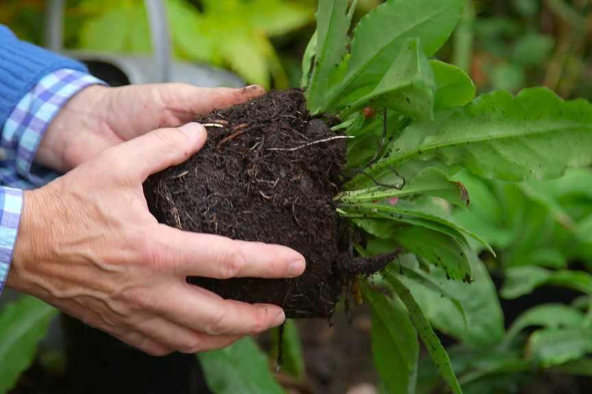 Planting perennials in autumn NFG video