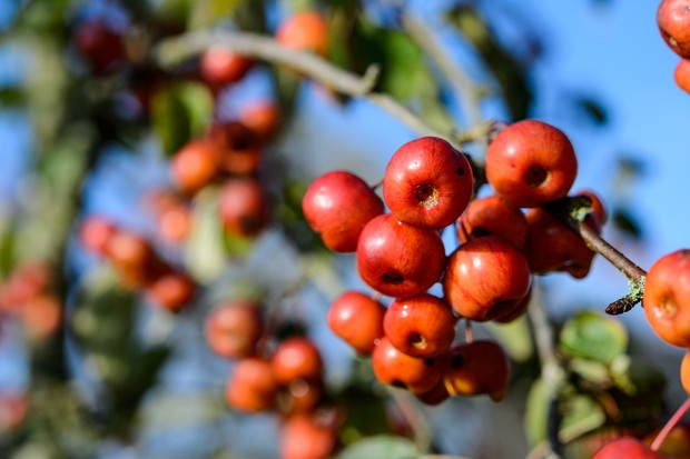 A red crop of Malus Evereste crab-apples