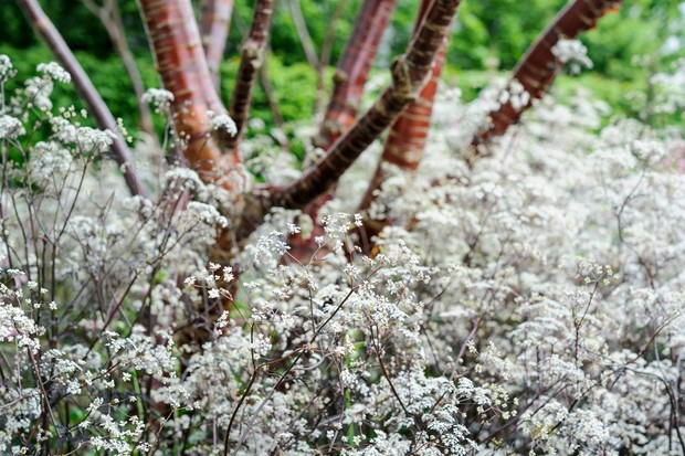White flowers of cow parsley 'Ravenswing', with deep purple stems and foliage