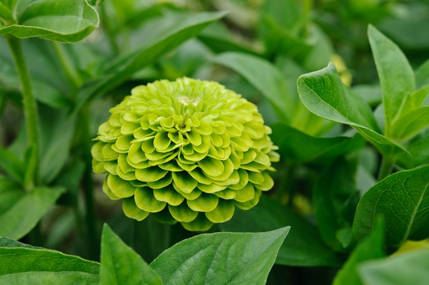 A lime-green, double flower of zinnia 'Queen Lime'