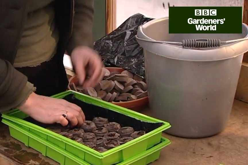 How to sow tomato seeds in coir pellets