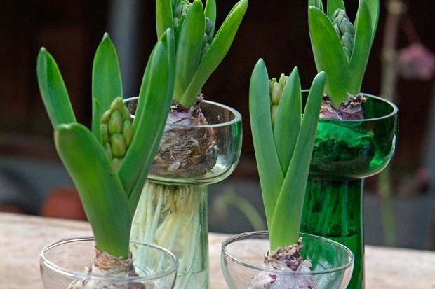 Growing Hyacinth Bulbs In A Glass Gardenersworld