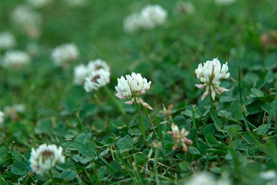 Cream clover flowers and leaves amongst a lawn of grass