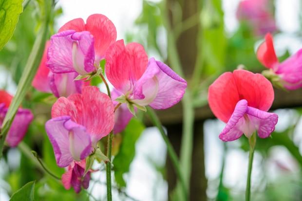 pink-sweet-peas-4