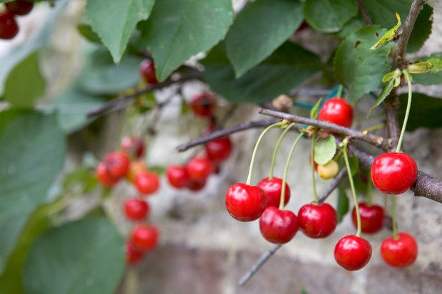 A good crop of cherries on a tree