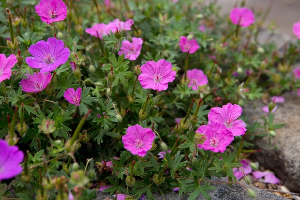 hardy-geraniums-in-paving-2