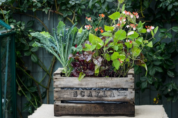 Beans, kale and salad growing in a lined old wooden crate