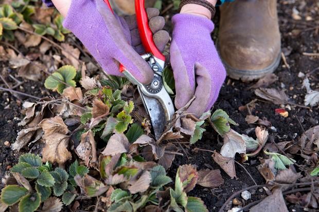 cutting-away-dead-foliage-2