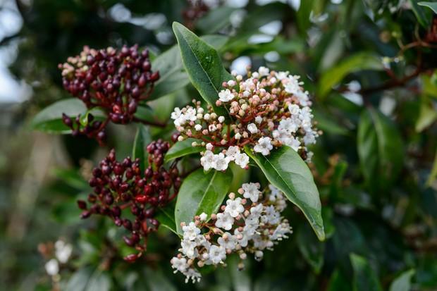 White flowers and evergreen leaves of viburnum