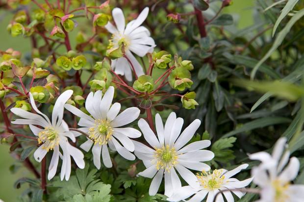 anemone-and-euphorbia-2