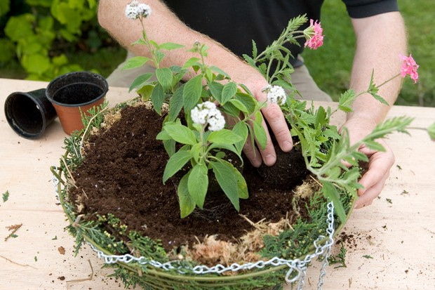 Planting the larger plants in the centre of the hanging basket