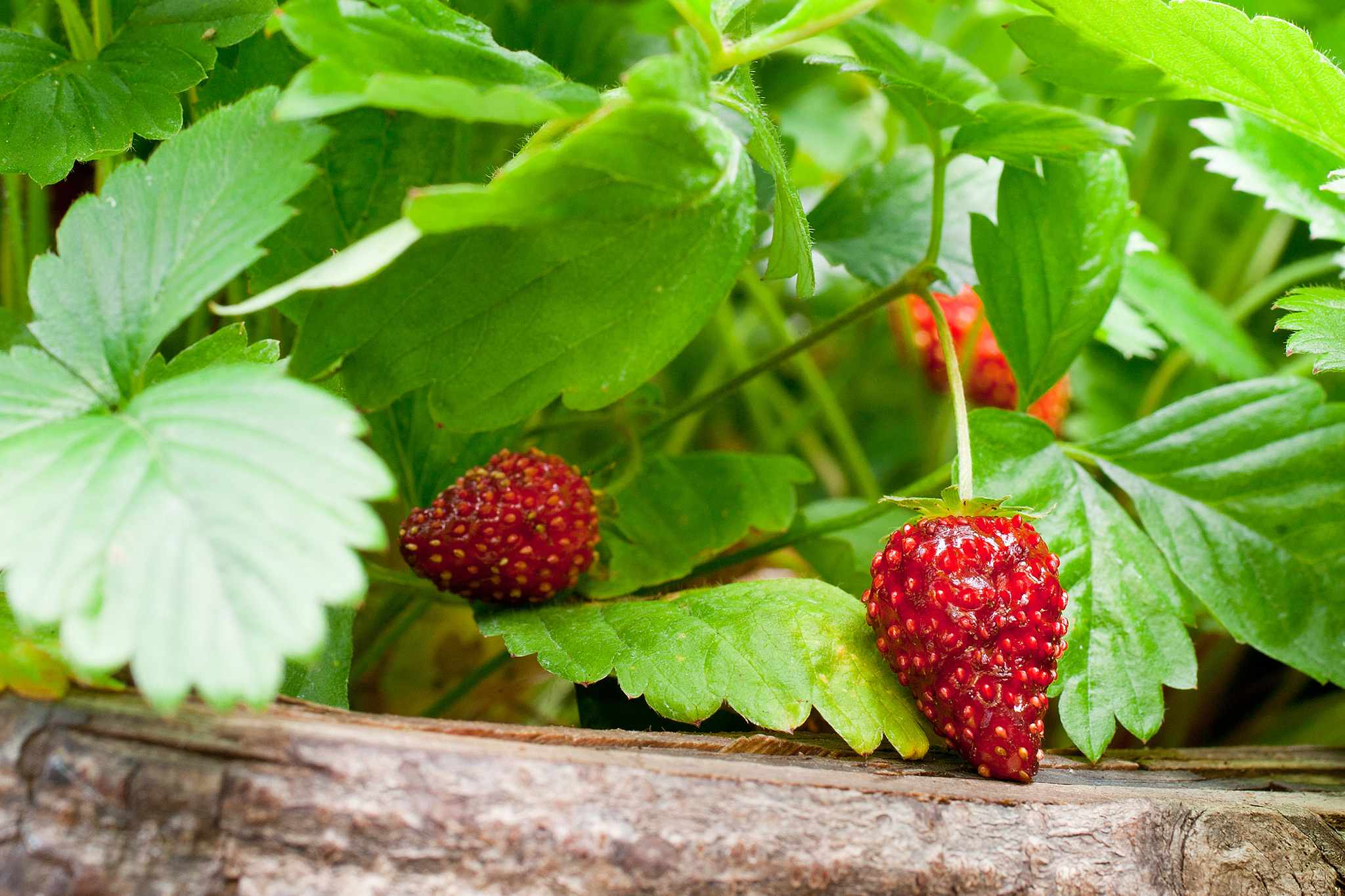 Fruits on strawberry plant