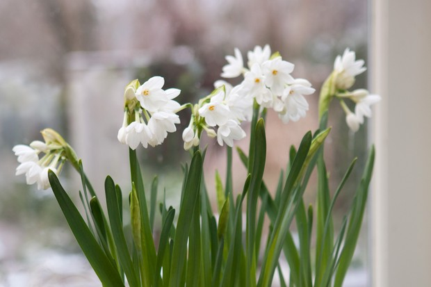 Small white blooms of Narcissus 'Paperwhite Ziva'