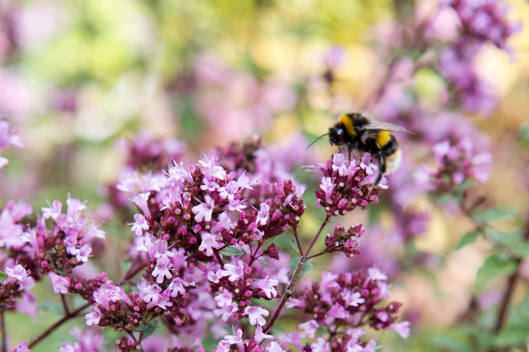 The Best Flowers for Bumblebees