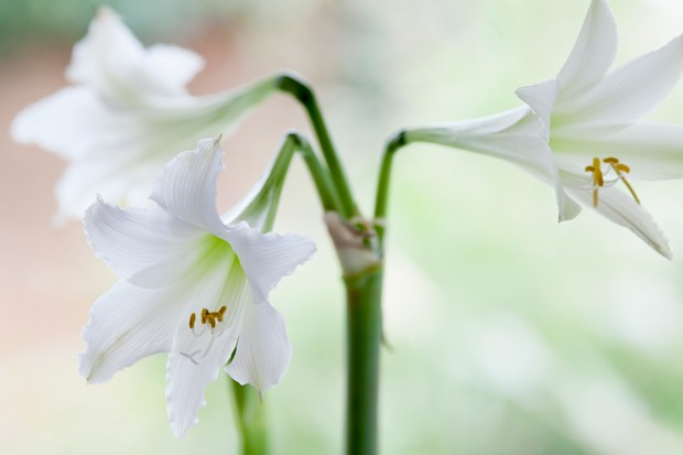Lily-like, white flowers of Hippeastrum 'Amputo'