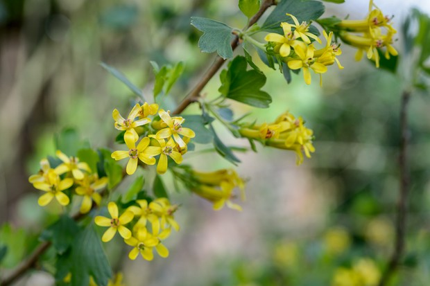 Yellow flowers of golden currant