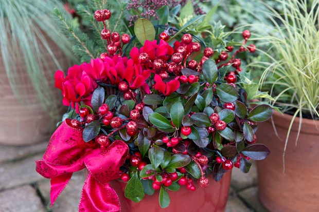 cyclamen-skimmia-and-gaultheria-pot-2