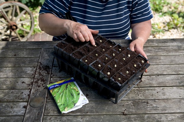 sowing-broad-beans-in-modules-3