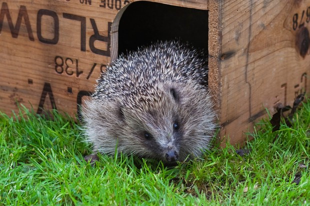 A hedgehog emerging from a wooden shelter onto a lawn