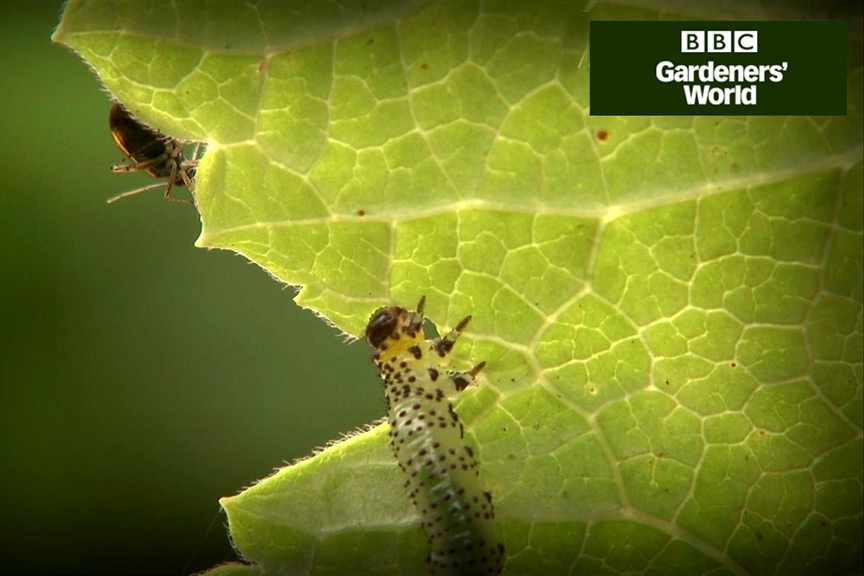 How to tackle aphids and sawfly larvae